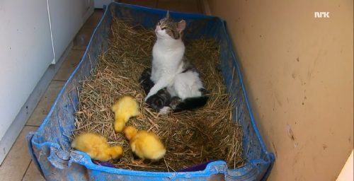cat_ducks4